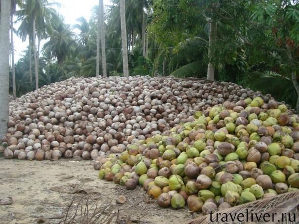 Кокосы Самуи, Samui coconut